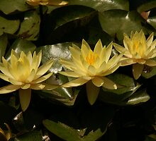 Yellow Water Lilies by Bob Spath