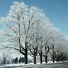 After The Icestorm - A Row of Ice Covered Trees by DMHImages