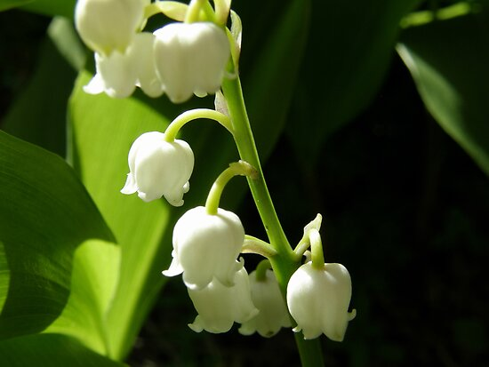 Lily of the Valley by Jayne Le Mee