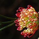 Debbies Grevillea by Eve Parry