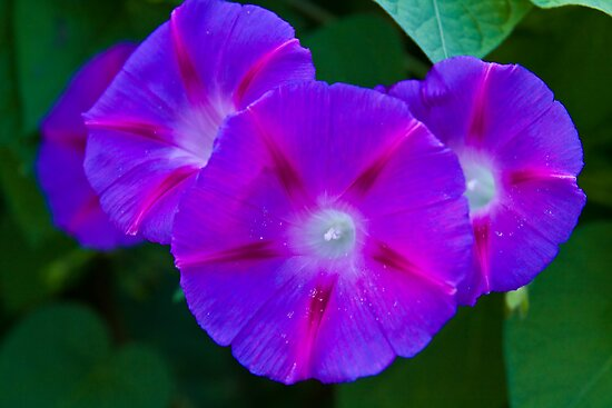 Morning Glories by BigD