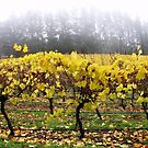 Foggy Vineyard by Paula McManus