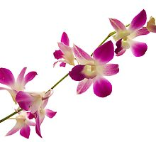 Orchid by Liza Yorkston