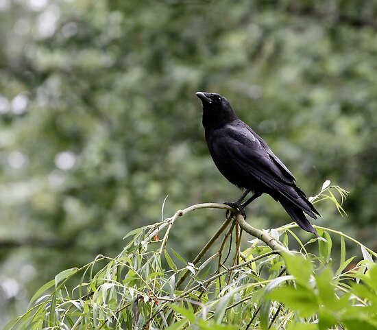 Crow Contemplation by Wolf Read