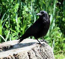 Stumped Crow by Wolf Read