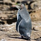 Yellow-eyed Penguin #2, Curio Bay, New Zealand by christopher hodgson