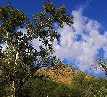 Arizona Sycamore by gcampbell