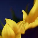 Sunflower by NEmens