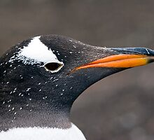 Portrait of a Gentoo by parischris