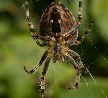 Araneus diadematus by David Brown