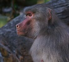 Baboon ~ 2 by EverChanging1