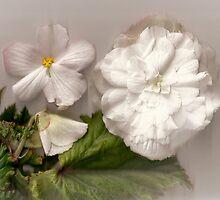 Bella Begonia Blanca by missmoneypenny