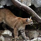I Believe Mountain Lions Roam New Hampshire&#x27;s Wild Places by Wayne King
