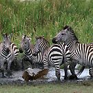 Zebras and Hamerkop by Yves Roumazeilles