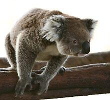 Curious koala by yelys