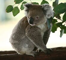 Curious look of a koala by yelys