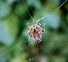 The spider weaves its web by annalisa bianchetti