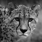 Cheetah in black and white by Nicky Hofland