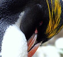 Macaroni Penguin by Jem Wright