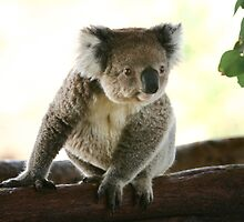 Koala with excitement by yelys