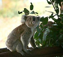 Looking up koala by yelys