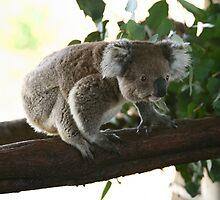 Wanna jump koala by yelys