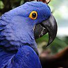Hyacinth Macaw by Anne Smyth