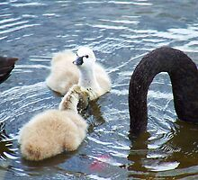Cygnets 3 by Paul Todd