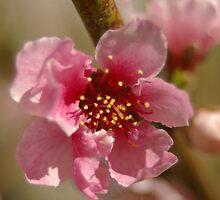 apricot bloom by Michelle Fluri