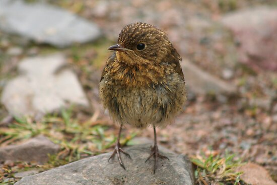 Robin (Fledgling) by Teuchter