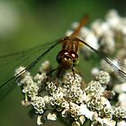 smiling dragonfly by Brock Hunter