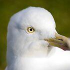 Herring gull by Nick Potts