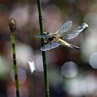 Dragon fly by Nick Potts