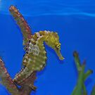 Seahorse by Robert Abraham