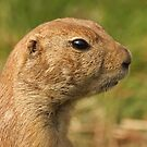 Portrait OF A Prairie Dog by Robert Abraham