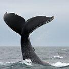 Tail Lobbing by Gina Ruttle  (Whalegeek)
