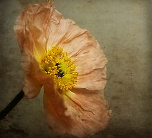 Poppy by Rosalie Dale