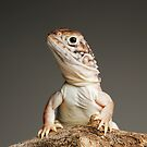 Central Netted Dragons by Shannon Benson