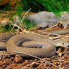 Common Scaly-Foot (Pygopus lepidopodus) by Shannon Benson