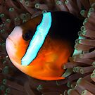 Clarkes Anemonefish by MattTworkowski