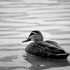 Pacific Black and White Duck by Jarrod Calati