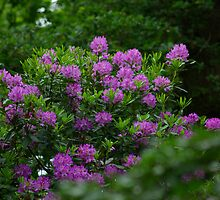Rhododendrons  #1 by Trevor Kersley