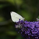 Small Cabbage White Butterfly by Richard Hanley www.scotland-postcards.com
