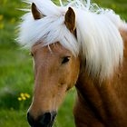 Icelandic Horse by Shawn McCrimmon