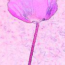 Pink poppy by Sandra O'Connor