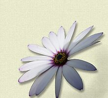 African Daisy by jacqi