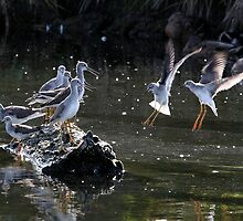 """""""May We Join You?"""" Greater and Lesser Yellowlegs by Wolf Read"""