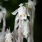 Indian Pipes Ghost Plant by Karen Kaleta