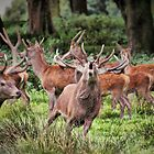 Deer at Tatton Park by SylviaHardy