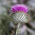 Scottish thistle by Sandra O'Connor